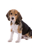 I am the sweetest. Cute young beagle pup looking adorably cute on white background Stock Photo