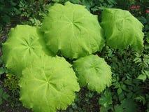 I tabularis di Astilboides Fotografia Stock
