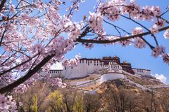 Peach blossoms in front of the potala palace royalty free stock image