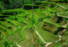 I terrazzi del riso più drammatici e più spettacolari in Bali possono essere veduti vicino al villaggio di Tegallalang, in Ubud I Immagini Stock Libere da Diritti