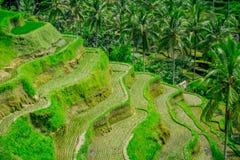 I terrazzi del riso più drammatici e più spettacolari in Bali possono essere veduti vicino al villaggio di Tegallalang, in Ubud I Fotografie Stock Libere da Diritti