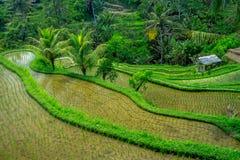 I terrazzi del riso più drammatici e più spettacolari in Bali possono essere veduti vicino al villaggio di Tegallalang, in Ubud I Immagine Stock Libera da Diritti