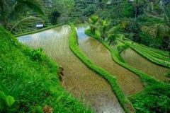 I terrazzi del riso più drammatici e più spettacolari in Bali possono essere veduti vicino al villaggio di Tegallalang, in Ubud I Fotografia Stock Libera da Diritti