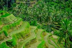 I terrazzi del riso più drammatici e più spettacolari in Bali possono essere veduti vicino al villaggio di Tegallalang, in Ubud I Fotografia Stock