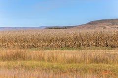 I terreni coltivabili asciugano il paesaggio del campo del raccolto del mais Fotografia Stock