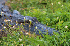 I terreni paludosi capi dell'alligatore si chiudono su Fotografie Stock