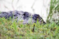 I terreni paludosi capi dell'alligatore si chiudono su Immagini Stock