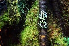 I terribilis tossici di un Phyllobates della rana scala un albero nella foresta immagini stock