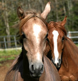 I think he is gaining on me. Two racing Arabian  yearling colts Royalty Free Stock Photography