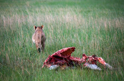 I think she had enough. Female lioness finished her meal. Dead zebra killed the night before Stock Image