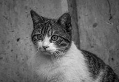 `I think I saw...`. A cat fixing her gaze on something Royalty Free Stock Photography