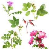 I tipi differenti di sono aumentato con i fiori ed i cinorrodi isolati su fondo bianco Il ramo di è aumentato con le foglie verdi Fotografia Stock