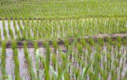 I tiri dei giovani, i germogli del riso si chiudono su Fotografia Stock Libera da Diritti