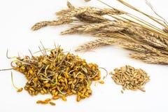 I tiri dei giovani hanno germogliato i grani dei cereali Immagini Stock Libere da Diritti