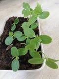I tiri del cetriolo prima della piantatura fotografia stock