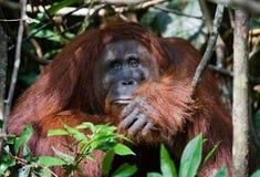 -I today very sad!. Indonesia.Borneo. Rain-forest. Camp Leakey  Pongo pygmaeus wurmbii - southwest populations Royalty Free Stock Image