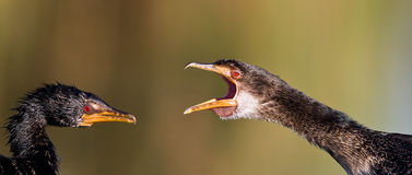 I told you. White breasted cormorant having a fight Royalty Free Stock Photo