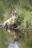 I too cute. Very cute whitetail fawn laying in meadow grass by stream with reflective image on water Stock Image