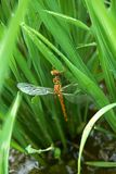 A dragonfly sitting in a paddy field. I took a close-up of a dragonfly sitting on a dew-bearing rice field stock images