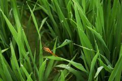 A dragonfly sitting in a paddy field. I took a close-up of a dragonfly sitting on a dew-bearing rice field royalty free stock images