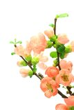 Japanese quince Stock Image