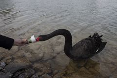I took this photo while giving the black swan feed. Royalty Free Stock Image