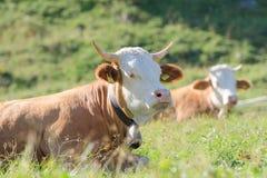 I tori della razza di Hereford si trova sul pascolo alpino degli altopiani soleggiati Fotografie Stock Libere da Diritti