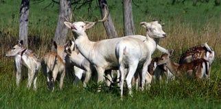 i träda öppet familjfält för hjortar Fotografering för Bildbyråer