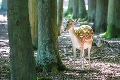 i träda barn för hjortar Fotografering för Bildbyråer