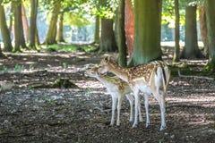 i träda barn för hjortar Arkivfoton