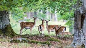 I träda deers Arkivfoton