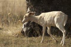 I träda Deers, Damadama, Spanien, albino royaltyfri bild