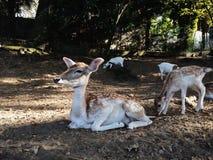 I träda deers i höst parkerar royaltyfria bilder