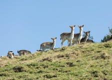 i träda grupp för hjortar arkivfoton