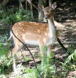 i träda kvinnlig för hjortar arkivbild