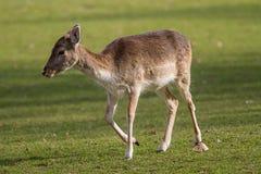 i träda kvinnlig för hjortar Royaltyfri Bild