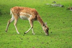 i träda kvinnligperser för hjortar Royaltyfri Fotografi
