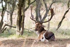 i träda manlig för hjortar Royaltyfria Foton