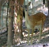 i träda sötsak för hjortar royaltyfria foton