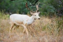 i träda white för hjortar Arkivbilder