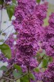 I trädgården blomstrar lilan Royaltyfri Foto