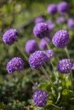I trädgården på en solig dag - en grupp av purpurfärgade blommor royaltyfri foto