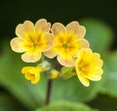 I trädgården vår i London - en closeup av några gula blommor Arkivbild