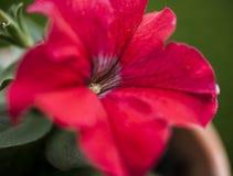 I trädgården vår i London - en closeup av en röd blomma Arkivbild