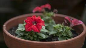 I trädgården vår i London - röd blomma i en kruka Arkivbild