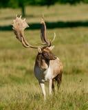 i träda fullvuxen hankronhjort för hjortar Arkivbild