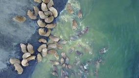 I trichechi pinniped i mammiferi in acqua della vista aerea del mare Glaciale Artico su nuova terra archivi video