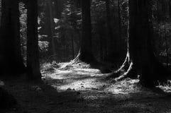 I tronchi degli alberi nella foresta attillata i raggi del sole Fotografie Stock