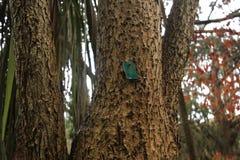 I tronchi degli alberi vigorosi sicomoro Fotografia Stock