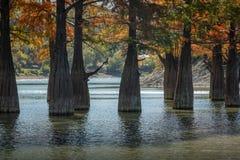I tronchi dei cipressi di palude sono completamente unici nella loro bellezza e struttura Un gruppo di taxodium distichum del cip fotografia stock